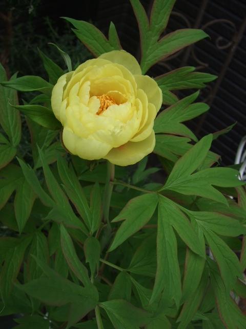 オークリーフ(黄色い牡丹)_f0049672_16595283.jpg