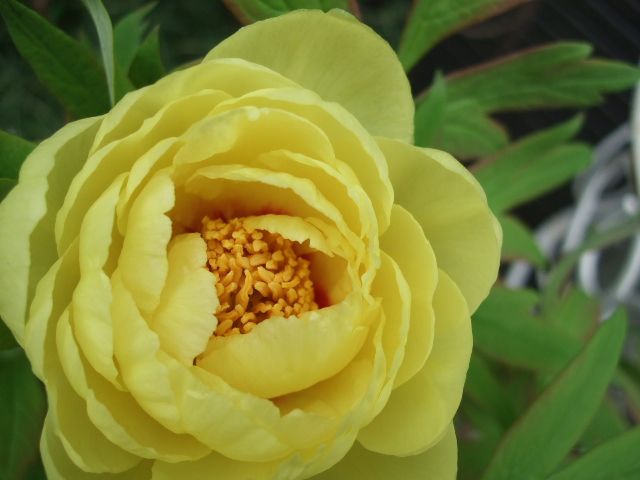 オークリーフ(黄色い牡丹)_f0049672_170138.jpg