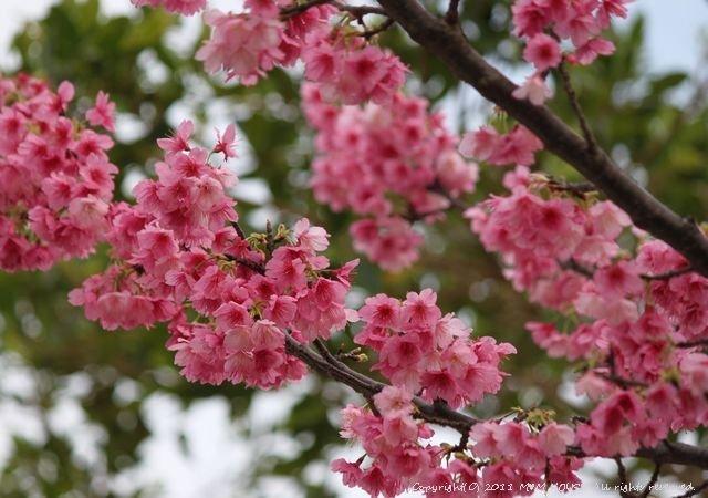 秋刀魚くるくる 和風醤油&バルサミコ酢【レシピ】 ☆いちばん桜♪_c0139375_13451639.jpg