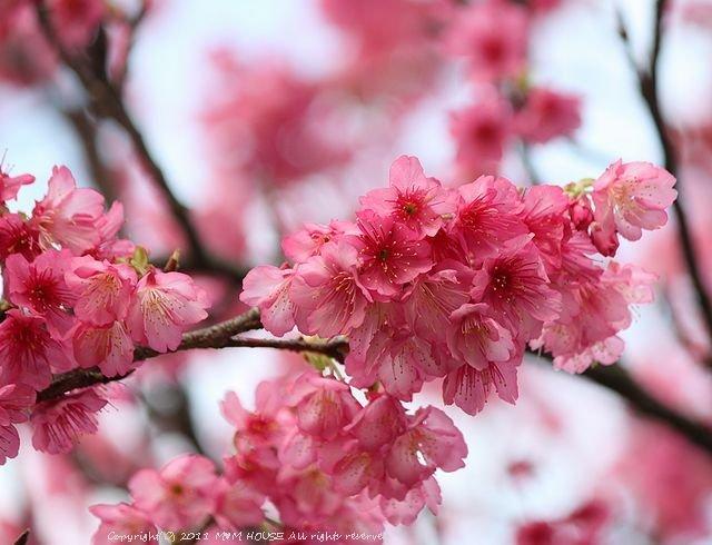 秋刀魚くるくる 和風醤油&バルサミコ酢【レシピ】 ☆いちばん桜♪_c0139375_1348248.jpg