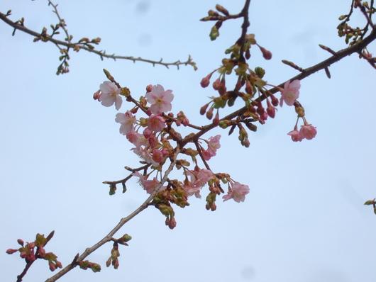 桜の花.....梅にメジロ!_b0137932_20531692.jpg