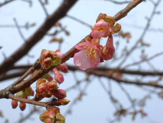桜の花.....梅にメジロ!_b0137932_20533792.jpg