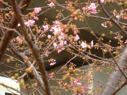 桜の花.....梅にメジロ!_b0137932_2164943.jpg