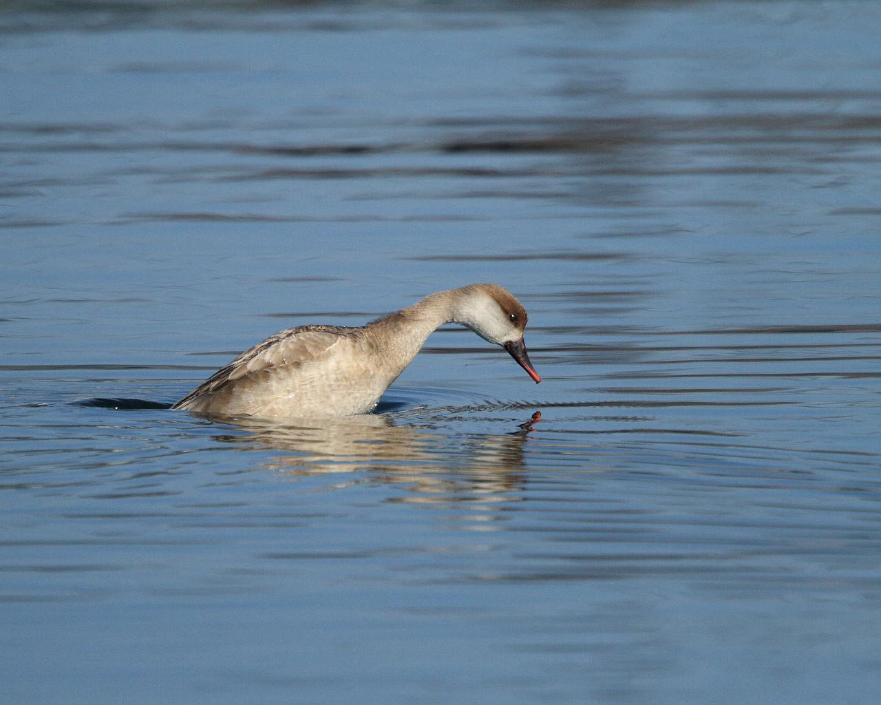 高原の湖の珍鳥;アカハシハジロ雌_f0105570_21563172.jpg