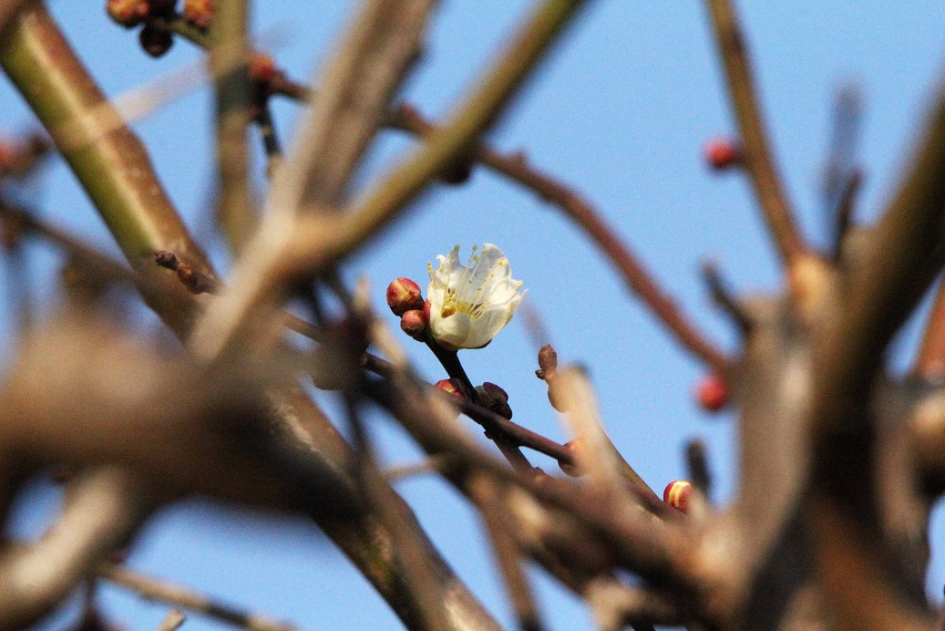 白梅の花_a0107574_2049020.jpg