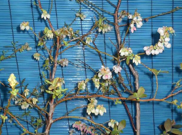 屋内促成栽培ブルーベリー開花時期のズレ_f0018078_18211895.jpg