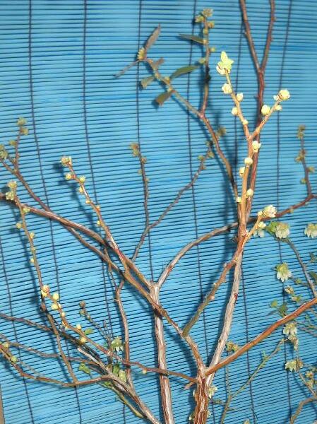 屋内促成栽培ブルーベリー開花時期のズレ_f0018078_18214059.jpg