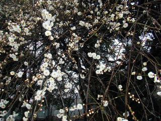 梅が満開_e0085133_1484999.jpg