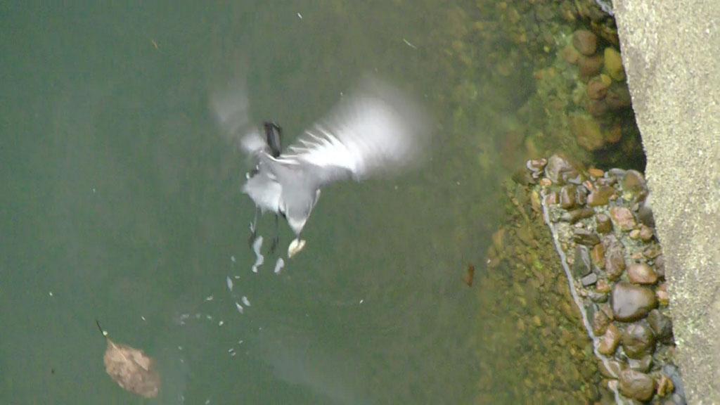 水面に浮ぶ餌をとる ハクセキレイ(街の鳥さんたち)(動画追加2.17)_e0088233_22214699.jpg