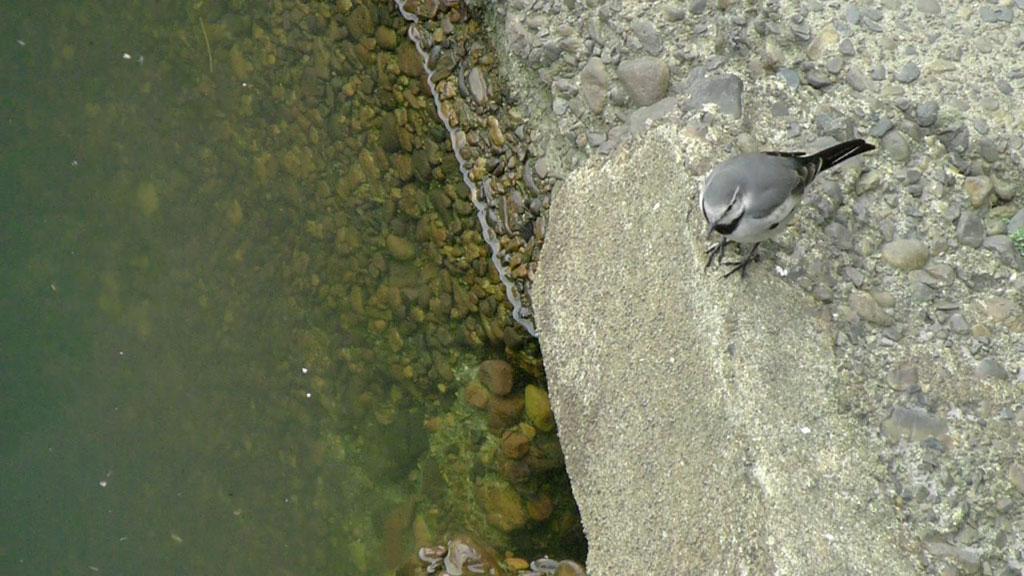 水面に浮ぶ餌をとる ハクセキレイ(街の鳥さんたち)(動画追加2.17)_e0088233_227199.jpg