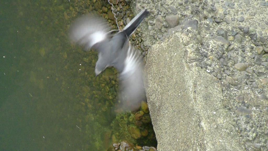 水面に浮ぶ餌をとる ハクセキレイ(街の鳥さんたち)(動画追加2.17)_e0088233_2281643.jpg