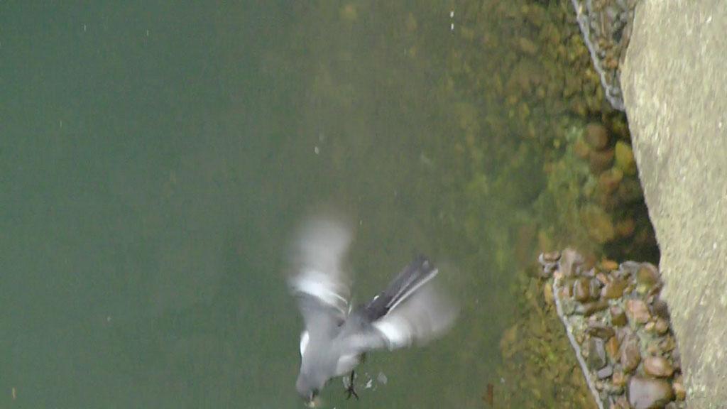 水面に浮ぶ餌をとる ハクセキレイ(街の鳥さんたち)(動画追加2.17)_e0088233_2291342.jpg