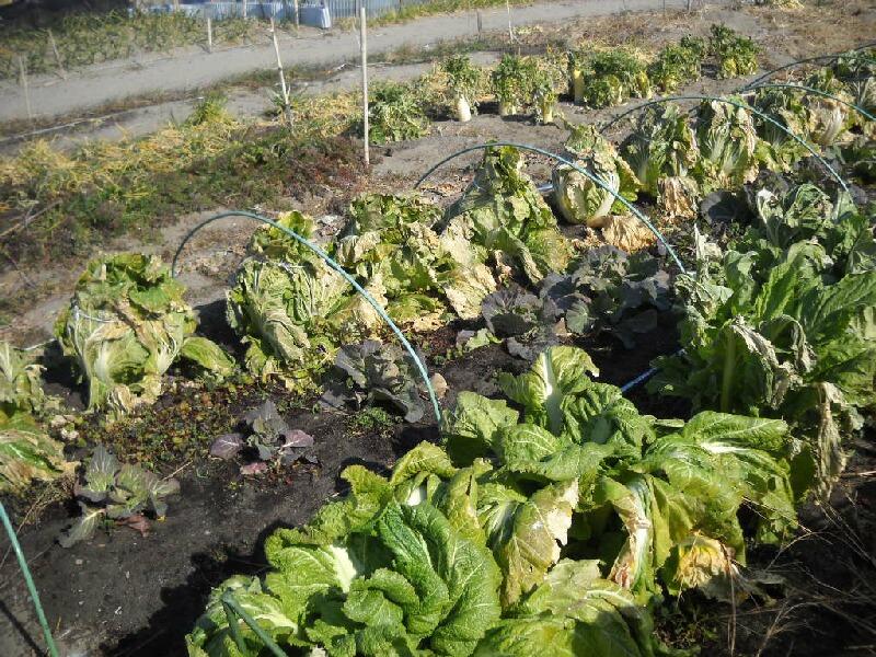 子持ち高菜の頂花蕾と味&晩生白菜の収穫_f0018078_18341396.jpg