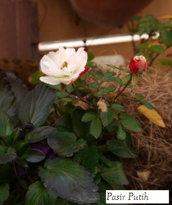 Rose_e0231290_13534150.jpg