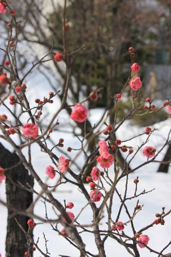 紅梅ノ花、咲ク_f0229508_18233572.jpg