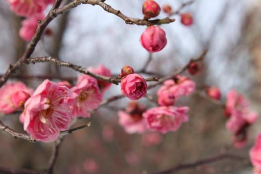 紅梅ノ花、咲ク_f0229508_18234342.jpg