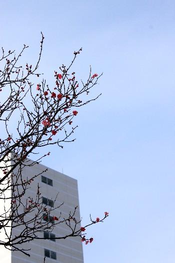 紅梅ノ花、咲ク_f0229508_1823822.jpg