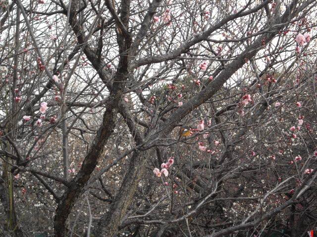 梅の香りがいっぱい・・・_d0116059_212209.jpg