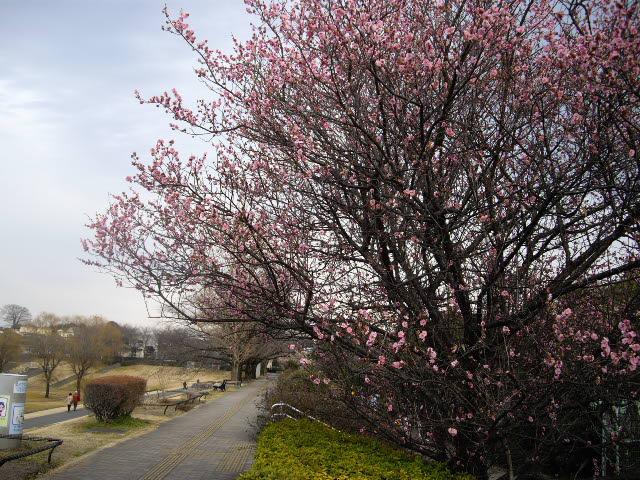 梅の香りがいっぱい・・・_d0116059_2172865.jpg