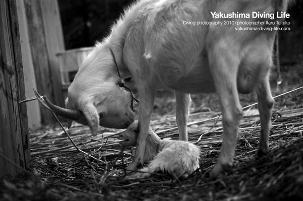 ヤギの出産_b0186442_19331041.jpg