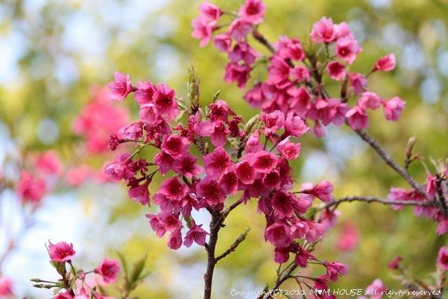 桜便り 第2弾  ☆ ハプニング♪_c0139375_13575977.jpg