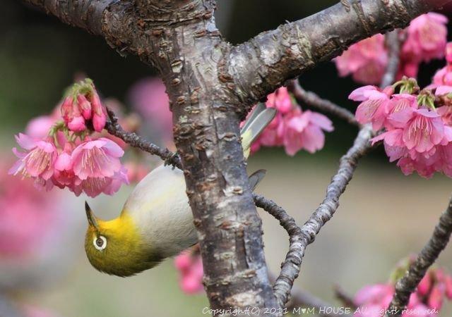 桜便り 第2弾  ☆ ハプニング♪_c0139375_13595072.jpg