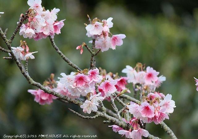 桜便り 第2弾  ☆ ハプニング♪_c0139375_1359912.jpg