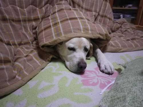 こたつ犬_b0145486_2110509.jpg