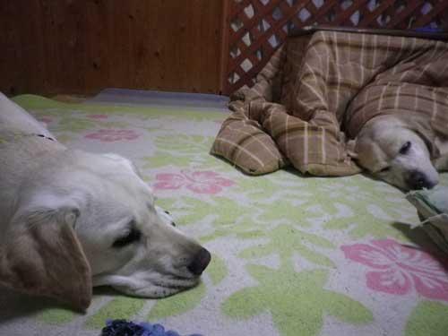 こたつ犬_b0145486_21145550.jpg