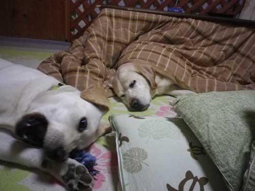 こたつ犬_b0145486_2117101.jpg