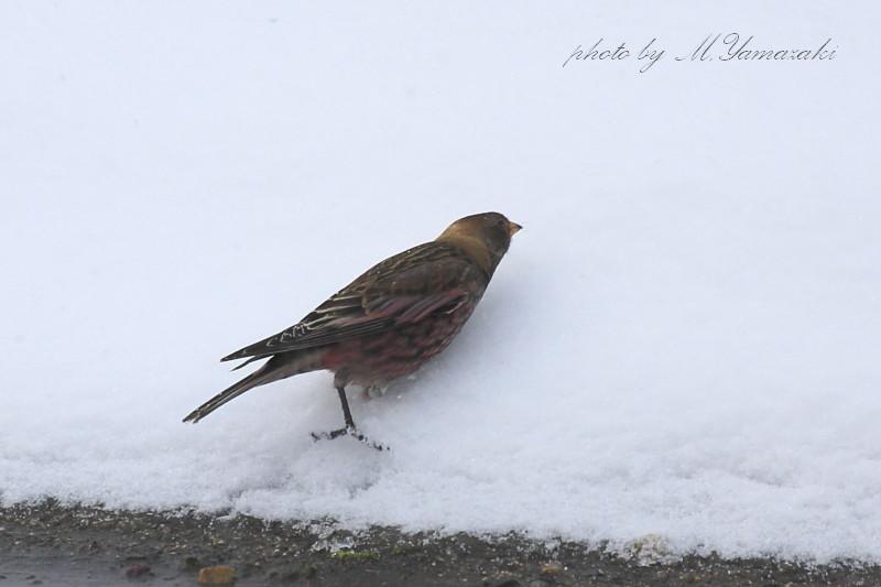 雪のハギマシコ_c0217255_17372193.jpg