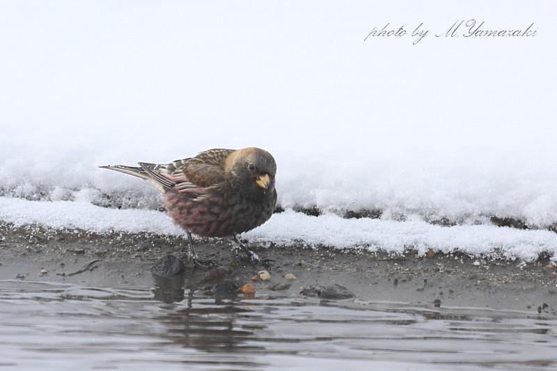 雪のハギマシコ_c0217255_17405563.jpg