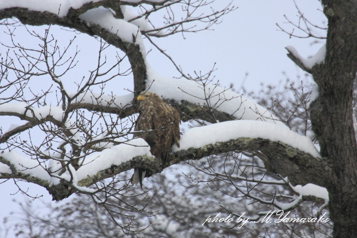 雪のハギマシコ_c0217255_17444254.jpg