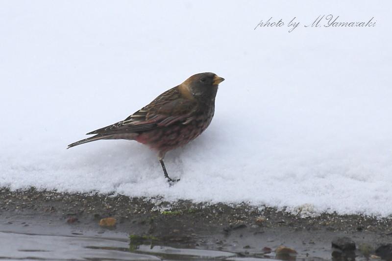 雪のハギマシコ_c0217255_17554841.jpg