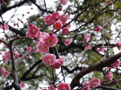梅(横浜公園)_e0149596_2511879.jpg