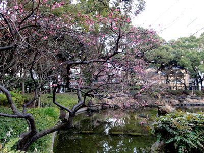 梅(横浜公園)_e0149596_2512933.jpg