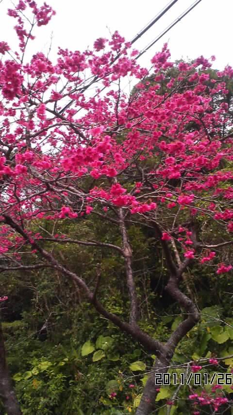 ☆本部(八重岳)桜祭り☆_f0214100_16485351.jpg