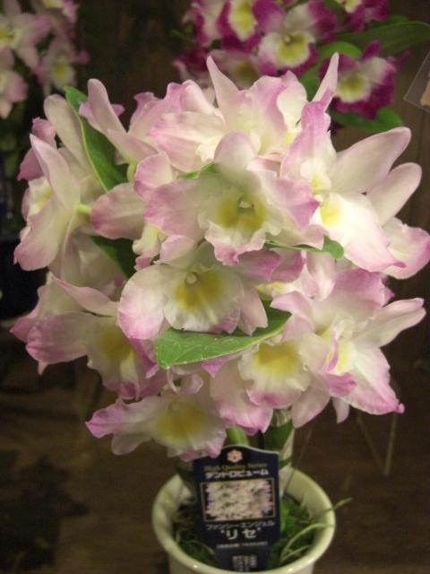 かわいい蘭の花_f0226713_20293039.jpg