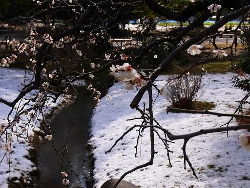 春の雪景色@浜離宮恩賜庭園_c0192215_15292094.jpg