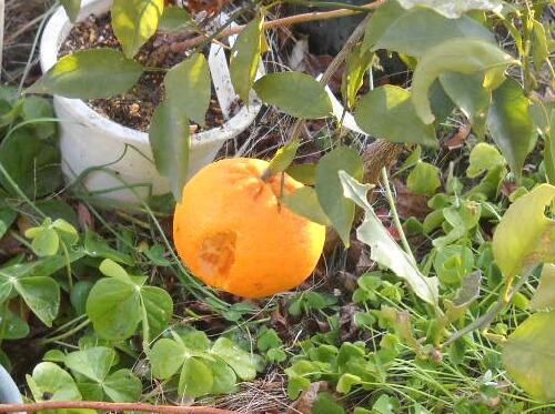 鳥に突付かれた「はるみ」と柑橘の収穫時期_f0018078_1991110.jpg