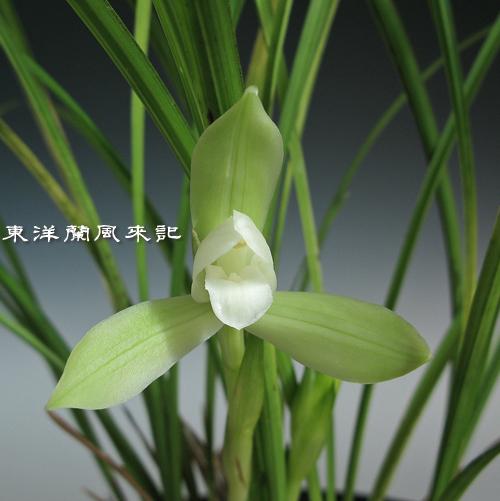 タイワン春蘭「春雪」                  No.946_d0103457_1202713.jpg
