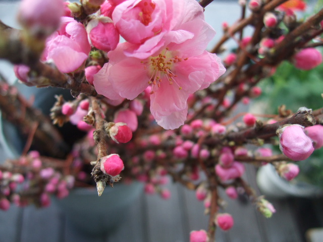 オークリーフ(そろそろ、桃の花)_f0049672_14581210.jpg