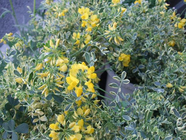 オークリーフ(そろそろ、桃の花)_f0049672_15402118.jpg