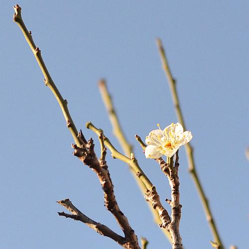 わが家に春を知らせる梅_f0099102_20243526.jpg