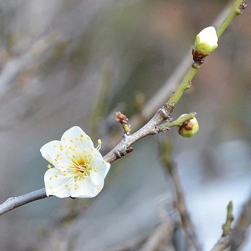 わが家に春を知らせる梅_f0099102_2024998.jpg