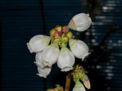 マグノリアの花がやっと咲きました@屋内促成栽培ブルーベリー _f0018078_2155726.jpg