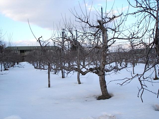 りんご畑は今_e0019167_1924295.jpg
