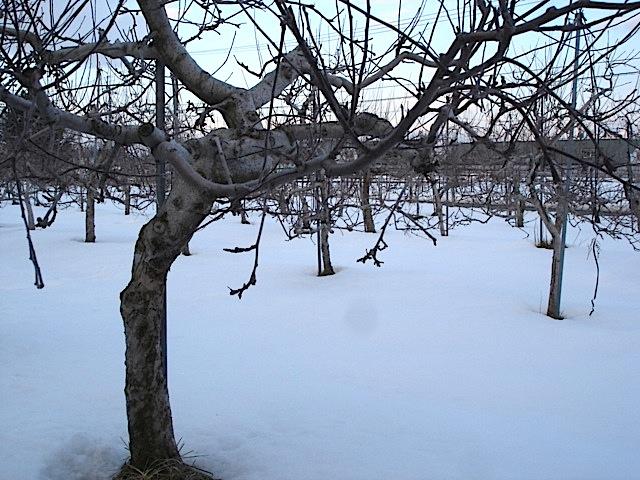りんご畑は今_e0019167_1934663.jpg