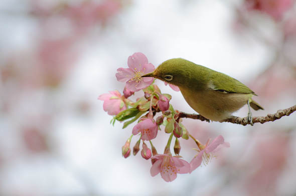 春を告げる鳥 : ひつじ雲日記