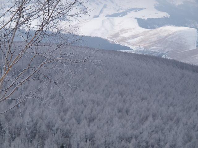 冬のカラマツ林_d0102327_174224.jpg